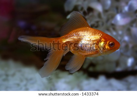 golden fish - stock photo