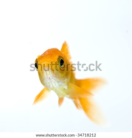 golden fish on white background - stock photo