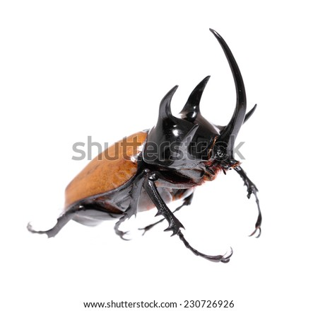 Golden five horned rhino beetle on a white background.  - stock photo
