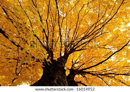 Golden Foliage Maple - stock photo