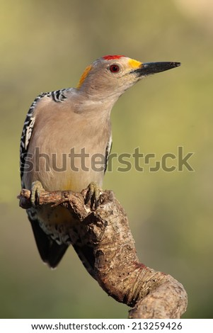 Golden fronted woodpecker perched on a branch - stock photo