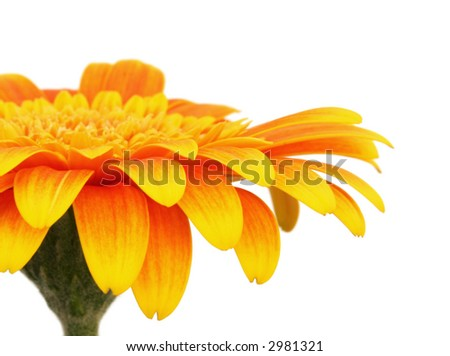 Golden gerbera daisy, isolated on white.  Closeup view.