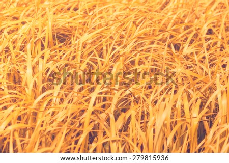 Golden grass field closeup, infrared filter - stock photo