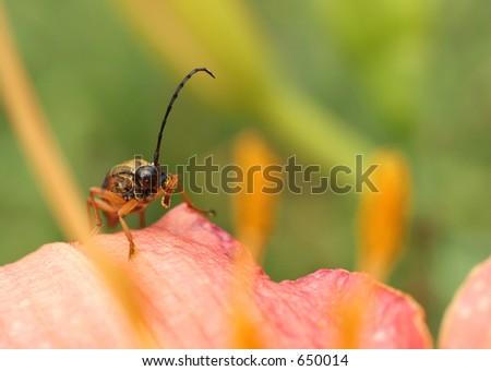 Golden-haired Flower Longhorn Beetle - stock photo