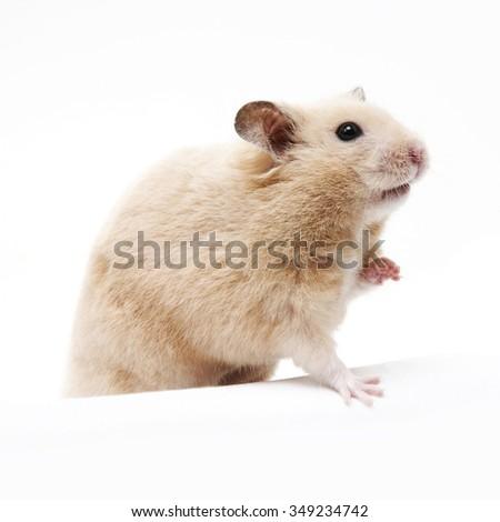 Golden hamster white - photo#18