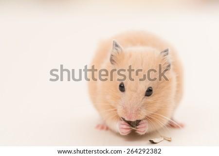 Golden Hamster eating a sunflower seed. - stock photo