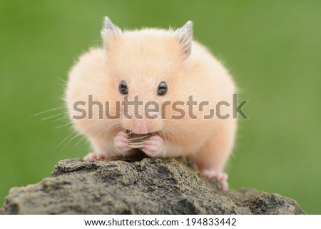 Golden Hamster eating sunflower seed - stock photo