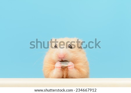 Golden Hamster eating sunflower seed. - stock photo