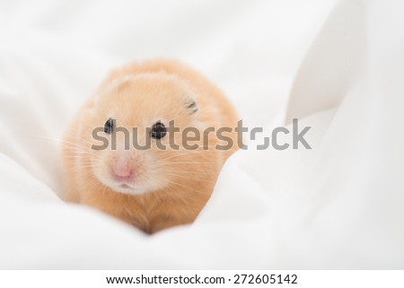 Golden Hamster on bed sheets. - stock photo
