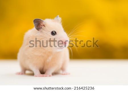 Golden Hamster on Golden Background. - stock photo