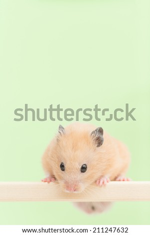 Golden Hamster on wooden board.