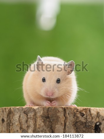 Golden Hamster (Syrian Hamster) on a tree stump. - stock photo