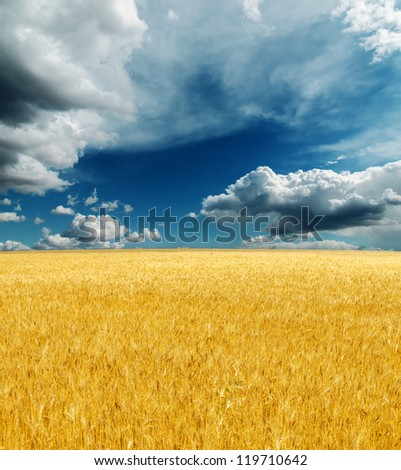 golden harvest field under dramatic sky. rain before - stock photo