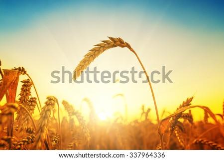 golden harvest on field. sunset time - stock photo