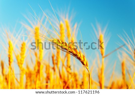 golden harvest. soft focus - stock photo