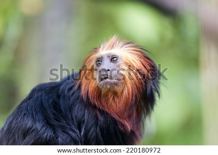 Golden-headed lion tamarin An endangered species endemic to Brazil. Conservation status Endangered - stock photo