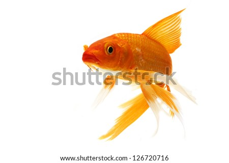 Golden koi fish isolated on white background.
