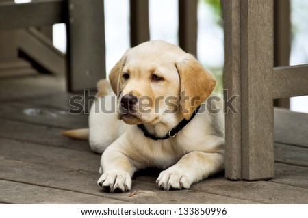 Golden Lab named Monty. - stock photo