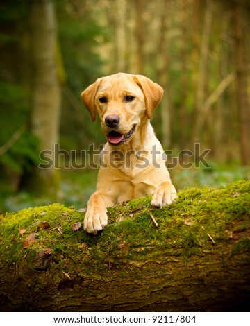 Golden Labrador - stock photo