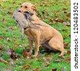Golden Labrador carrying the pheasant - stock photo