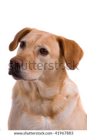 Golden Labrador dog Portrait - stock photo