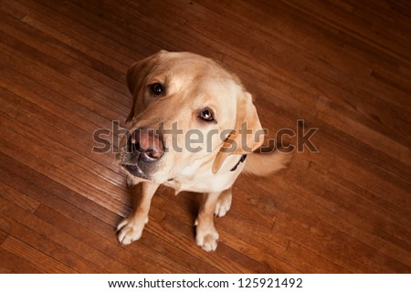 Golden Labrador looking up at. - stock photo