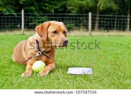 Golden Labrador lying in a grass enclosed field with ball and water bowl - stock photo
