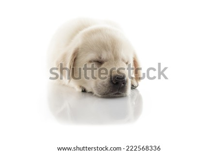 Golden Labrador Puppy sleep isolated on white background - stock photo