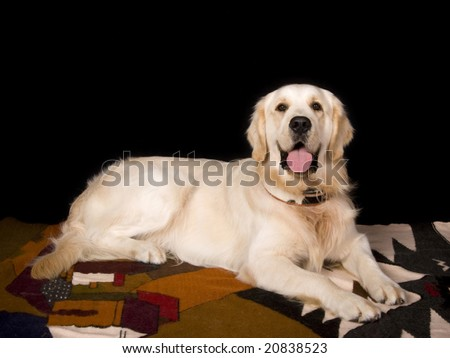 golden labrador reclining on blanket, studio shot