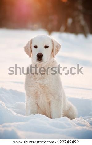 golden labrador retriever puppy in winter - stock photo