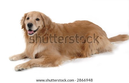 Golden laying down - stock photo