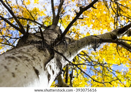 Golden Leaves on a Birch, or Aspen Tree with White Bark - stock photo