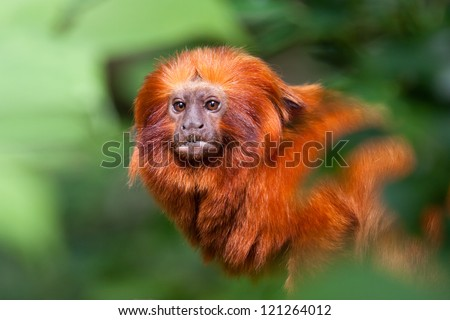 Golden lion tamarin - stock photo