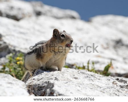 Golden-mantled Ground Squirrel (Callospermophilus lateralis) Calling to Establish its Territory - Jasper National Park, Alberta, Canada