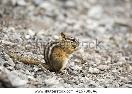 Golden-mantled Ground Squirrel (Callospermophilus lateralis) sitting on stony ground eating a wild seed. Photographed low down from the side. - stock photo