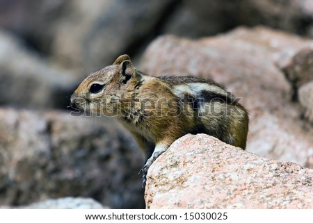 Golden Mantled Ground Squirrel on Rock - stock photo