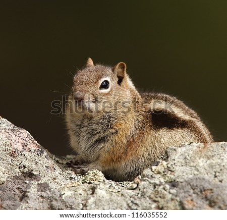 Golden-mantled ground squirrel poses on a rock by a hiking trail in Rocky Mountain National Park, near Denver, Colorado - stock photo