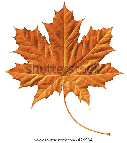 Golden maple leaf - stock photo