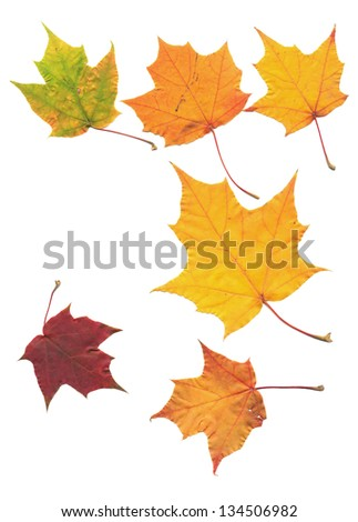 golden maple tree leaf isolated on white scanned - stock photo