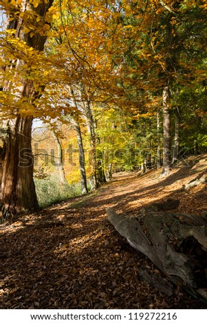 Golden October in the Beech Forest