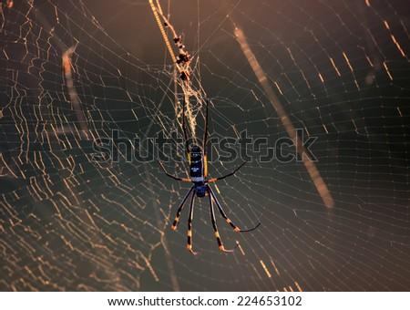 Golden Orb Spider in her web in Kruger National Park - stock photo