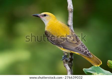Golden oriole juvenile on a branch - stock photo