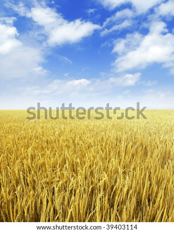 Golden paddy rice field ready for harvest. - stock photo