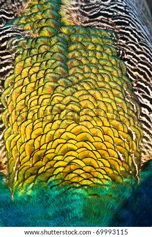 Golden patten of peacock feathers - stock photo
