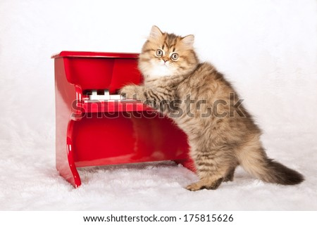 Golden Persian Chinchilla kitten standing up against red toy piano on white fake fur background - stock photo