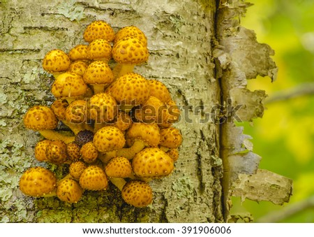 Golden Philiota Fungi grow on a Birch tree on the grounds of the Clearing, a school in the arts and humanities in Ellison Bay, Door County, Wisconsin - stock photo