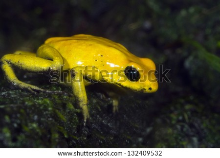 Golden poison dart frog (Phyllobates terribilis), with bright warning colors lives in tropical rainforest