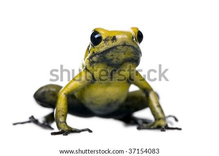 Golden Poison Frog, Phyllobates terribilis, against white background, studio shot - stock photo