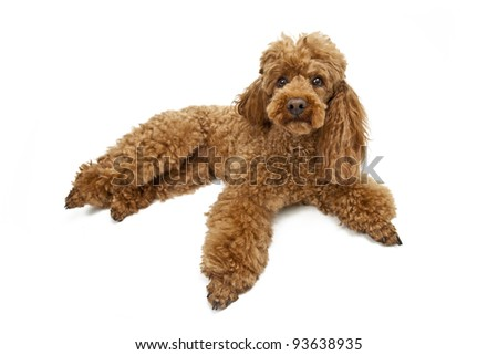 Golden poodle on White Background
