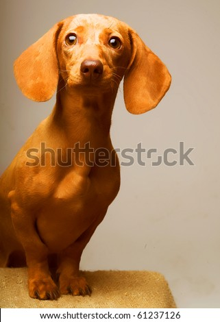 golden puppy rate. Studio shot. - stock photo